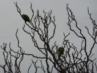 The parrots,